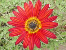 Margarita roja Fotografía de archivo libre de regalías
