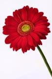 Margarita roja aislada Imágenes de archivo libres de regalías
