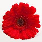 Margarita roja de Gerber Fotografía de archivo