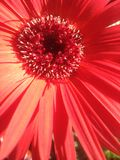 Margarita roja de Gerber en el Sun Fotografía de archivo