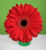 Margarita roja de los gerberas en fondo verde y blanco Fotografía de archivo