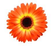 Margarita roja del geber Imagen de archivo