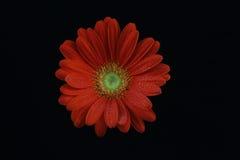 Margarita roja del Gerbera Imagenes de archivo