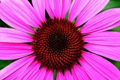 Margarita rosada Fotografía de archivo libre de regalías