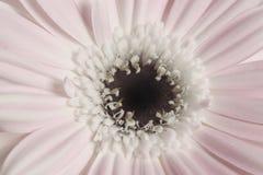 Margarita rosada Fotos de archivo