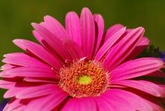 Margarita rosada Fotos de archivo libres de regalías