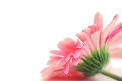 Margarita rosada Fotografía de archivo