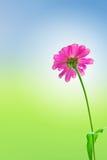 Margarita rosada Imagen de archivo