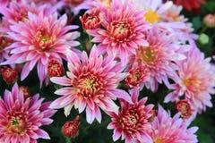 Margarita rosada Imagen de archivo libre de regalías