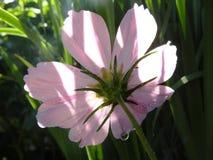 Margarita rosada Imágenes de archivo libres de regalías