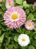 Margarita rosada blanda Fotos de archivo libres de regalías
