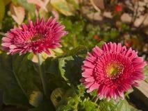 Margarita rosada brillante del Gerbera de las margaritas de Barberton Fotografía de archivo