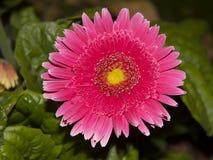 Margarita rosada brillante del Gerbera de las margaritas de Barberton Imagen de archivo libre de regalías