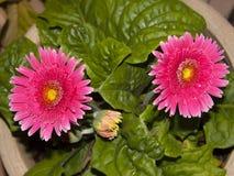 Margarita rosada brillante del Gerbera de las margaritas de Barberton Fotos de archivo