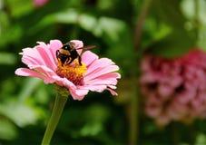 Margarita rosada con la abeja de la miel. Foto de archivo