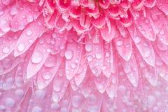 Margarita rosada con las gotitas Fotografía de archivo libre de regalías