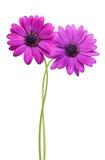 Margarita rosada de la flor de Osteosperumum Fotos de archivo libres de regalías