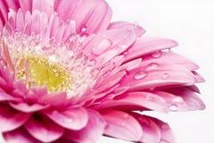 Margarita rosada del gerber Imagen de archivo libre de regalías