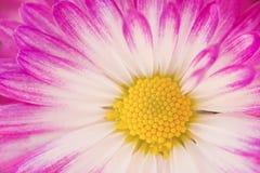 Margarita rosada del gerber Fotos de archivo libres de regalías