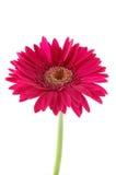 Margarita rosada del gerber Imagen de archivo