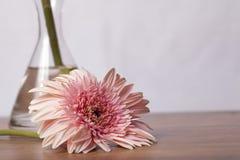 Margarita rosada del gerber con el florero de cristal en fondo de madera fotos de archivo libres de regalías