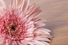 Margarita rosada del gerber en fondo de madera fotografía de archivo