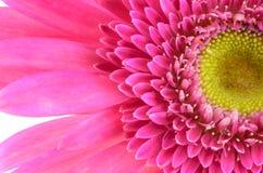 Margarita rosada del gerbera Foto de archivo libre de regalías