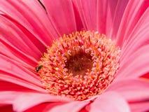 Margarita rosada del Gerbera Fotografía de archivo
