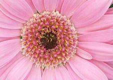 Margarita rosada del Gerbera Fotografía de archivo libre de regalías