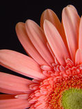 Margarita rosada del Gerbera Imágenes de archivo libres de regalías