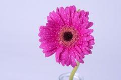 Margarita rosada del gerbera cubierta con las gotitas de agua Imagenes de archivo