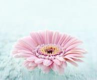 Margarita rosada en fondo de madera azul claro fotografía de archivo libre de regalías