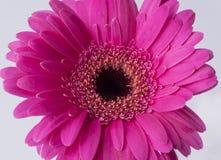 Margarita rosada en un fondo blanco Imágenes de archivo libres de regalías