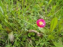 Margarita rosada entre la hierba Fotos de archivo libres de regalías