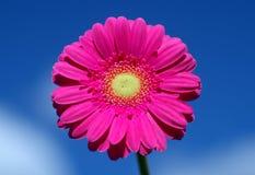 Margarita rosada hermosa del gerbera como macrophotography en el cielo azul foto de archivo libre de regalías