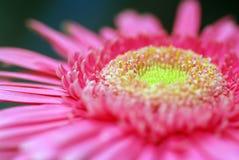 Margarita rosada macra Fotografía de archivo libre de regalías