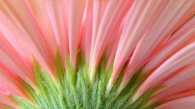 Margarita rosada macra 3 del Gerbera Imagen de archivo libre de regalías