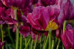 Margarita Tulip Flower Imagen de archivo libre de regalías