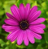 Margarita violeta Fotos de archivo libres de regalías