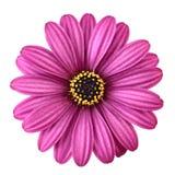 Margarita violeta Imagen de archivo libre de regalías