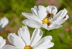 Margarita y abeja Foto de archivo libre de regalías