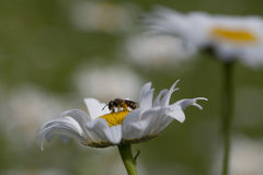 Margarita y abeja del halitus Foto de archivo