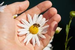 Margarita y abeja en una mano Foto de archivo