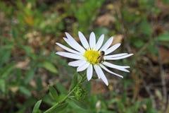 Margarita y la abeja Imágenes de archivo libres de regalías
