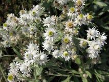 Margaritacea van Anaphalis van bloemen. Royalty-vrije Stock Afbeelding