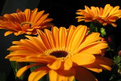 Margaritas Imagen de archivo