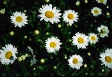Margaritas Fotos de archivo libres de regalías