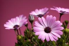 Margaritas africanas rosadas (Pluvialis del Dimorphotheca) Fotografía de archivo libre de regalías