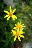 Margaritas amarillas Fotos de archivo libres de regalías