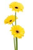 Margaritas amarillas Imágenes de archivo libres de regalías